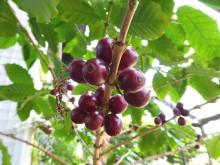 コーヒーの木_640
