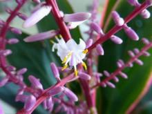 ドラセナの花が一輪・杉並区2_640