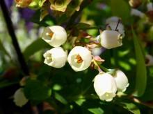 ブルーベリーの花・杉並区_640