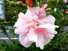 八重咲きムクゲ・杉並区_640