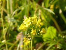 菜の花8_640