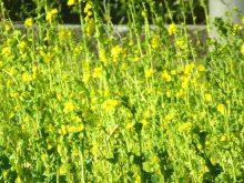 菜の花9_640