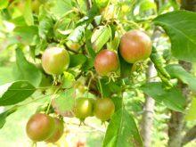 ヒメリンゴ:アルプス乙女_640